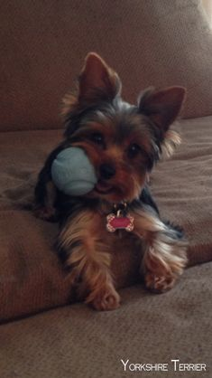 Toilettage yorkshire terrier expository essays 1 trick for the best way to accentuate article writing would be to use. To write on an expository. Tiny Teacup Yorkies For Sale Yorkies, Yorkie Puppy, Chihuahua, Yorky Terrier, Yorshire Terrier, Cute Puppies, Cute Dogs, Rescue Puppies, Cute Small Dogs