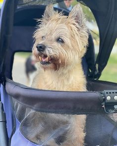 @roxyfoxy__15 borrowed my wheels to cruise the lake! (Im kinda sweet on her !) #charlieskaggs ... Cairn Terriers, Cairns, Little Dogs, Cruise, Best Friends, Wheels, Pets, Sweet, Pictures