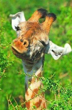Photograph Masai Giraffe by Tony Beck on Masai Giraffe, Giraffe Art, Cute Giraffe, Giraffe Photos, Giraffe Painting, Happy Animals, Cute Baby Animals, Animals And Pets, Funny Animals