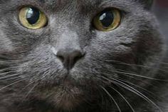 If you are looking for a truly unique and beautiful kitten you don't have to look much further than the Russian Blue breed. Delightful Discover The Russian Blue Cats Ideas. Blue Cats, Grey Cats, Russian Cat Breeds, Russian Blue Cat Personality, Nebelung Cat, Beautiful Kittens, Dog Facts, Cats And Kittens, Cat Lovers