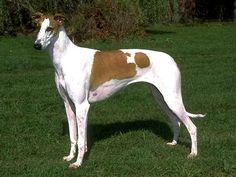 Chart Polski hound photo   Chart Polski - Dog Breeds - Dog.com