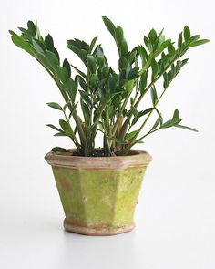 Cardboard Plant (Zamioculcas Zamiifolia)    A relative newcomer on the houseplant scene, this plant truly thrives on neglect. It is rather slow growing, so start with a plant near the size you'd like. Water when the soil is dry, and wash or dust off leaves occasionally.