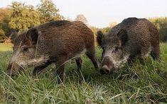 wild hog hunting
