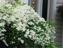 sweet autumn clematis, vanilla scent, fast growing