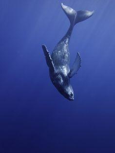 Ocean home | Humpback whale
