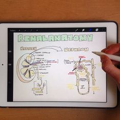 New video is up on my YouTube channel! It's a speedy overview of the anatomy of the kidney and nephron! I'd love to hear what you think! Search for Sarah Clifford Illustration on YouTube to check it out #medlife #medicine #medstudent #medschool #anatomy #renal #kidneys #futuredoctor #studyingmedicine #medicalschool #medicalstudent #iPadPro #procreate #applepencil