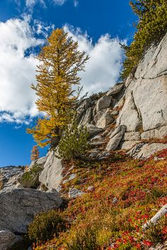Autumn Alpine Larches and Huckleberries