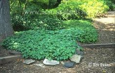 Ground Covers: Epimedium spp. Great for growing under a pine tree!! Need something for that awful bare spot in the yard!