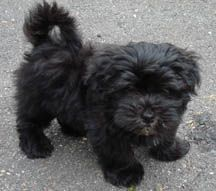Black havanese | Potential Pet | Pinterest | Havanese ...