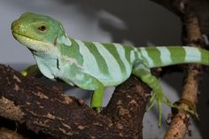 Fiji banded iguana. Scaly Slimy Spectacular: The Amphibian and Reptile Experience opens in April 2015.   #Ssspectacular   #OnlyZooATL