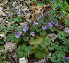 Ground Ivy - (Glechoma hederacea) AKA Creeping Charlie, gill-over-the-ground, cat's foot, field balm http://en.wikipedia.org/wiki/Glechoma_hederacea