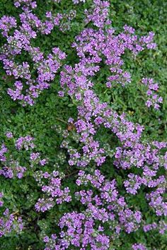 Thymus serpyllum 'Elfin' Elfin Thyme groundcover that likes being stepped on. Thinking about this or ivy for front ground cover. Landscaping Plants, Garden Plants, Beautiful Gardens, Beautiful Flowers, Thymus Serpyllum, Small Purple Flowers, Deer Resistant Plants, Ground Cover Plants, Gardening