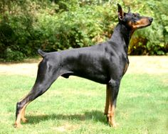 American Doberman, Doberman Pinscher, 2 Months, Dogs, Animals, Animales, Animaux, Pet Dogs, Doberman