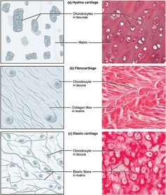 What is the difference between Bone and Cartilage? Bone is a strong, nonflexible connective tissue while cartilage is a flexible connective tissue. Skin Anatomy, Anatomy Study, Hyaline Cartilage, Tissue Biology, Histology Slides, Tissue Types, Nursing School Notes, Medical School, Mind Maps