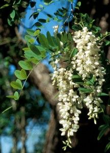 Black locust tree blossom: the most sought-after nectar source in TN  Blooms in spring! really pretty tree