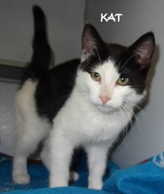 UPDATE-ADOPTED! AVAILABLE NOW! STRAY  Tag# 3702 Name is Kat  Black/White  Female-not spayed  Approx. 12-14 weeks  https://www.facebook.com/267166810020812/photos/a.707688035968685.1073742066.267166810020812/707688375968651/?type=3&theater