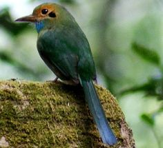 Blue-throated Motmot (Aspatha gularis) found in El Salvador, Guatemala, Honduras