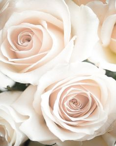 White roses so beautiful.....Isn't God's creations  amazing and sweet.....     Aline ♥