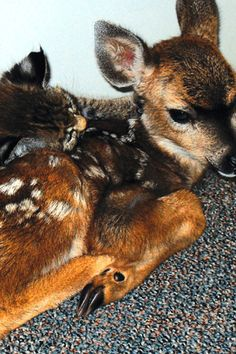"""The Bobcat Kitten and the Fawn  The Animal Version   When rehabilitators from the Santa Barbara Animal Rescue Team saved a young deer and a bobcat after a traumatic forest fire, they were short on crates, so they housed the two animals together. The result: """"They were so exhausted and weak. They cuddled up as one."""""""
