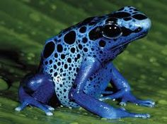 Our animal of the week is.the Blue Poison Dart Frog! Did you know blue poison dart frogs generally live about years? At the Aquarium, we had one live to be Blue Poison Dart Frog, Poison Dart Frogs, Reptiles And Amphibians, Mammals, Rainforest Frog, Brazil Rainforest, Amazon Rainforest, Frog Habitat, Deadly Creatures