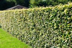 Beuk bladbehoudend groen (Fagus sylvatica)