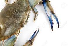 Výsledek obrázku pro krab modrý