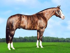 Dunbars Gold, a 1996 brindle stallion by Two D Nine and out of Outa  Chiggers by Outa Utopia. Genetic testing has shown the horse to be  an extremely rare chimera, an individual with two DNA types. More about this at http://instructor.mstc.edu/instructor/MKundinger/oneinamillion.pdf