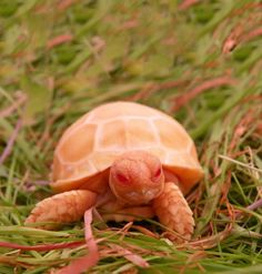 This Rare Albino Sulcata Tortoise looks like a normal tortoise that got too much sun.