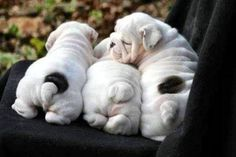 The major breeds of bulldogs are English bulldog, American bulldog, and French bulldog. The bulldog has a broad shoulder which matches with the head. Cute Baby Animals, Animals And Pets, Funny Animals, Cute Puppies, Cute Dogs, Dogs And Puppies, Doggies, Chubby Puppies, Terrier Puppies