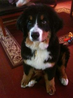 Baby Becca in the cabin, first trip to the snow - Bernese Mountain Dog puppy - 4 months