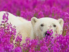 Playful Photos of Polar Bears Frolicking in Flower Fields During Summer