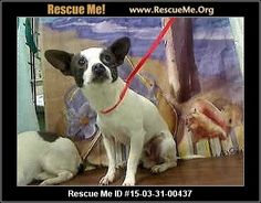 No Longer Listed - No Update 04/14/15 THERE ARE SO SO MANY BEAUTIFUL DOGS & CATS NEEDING A HOME IN MORENO VALLEY, CA.  Please California, ADOPT, FOSTER, & EDUCATE !!!  This Little One can be KILLED any time!!!  Vaccinations Current  - ID#A447382 Male, white & brown Chihuahua - Smooth Coated mix. The shelter thinks I am about 6 years old.