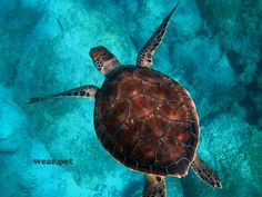 Beautiful photo of a turtle in Kaputas Beach. ⠀⠀⠀⠀⠀⠀⠀⠀⠀ 📍 Turkey. ⠀⠀⠀⠀⠀⠀⠀⠀⠀ 📷 Credit: Randall Ruiz. ⠀⠀⠀⠀⠀⠀⠀⠀⠀ #turtle #pagong #เต่า #kaplumbağa #tartaruga #черепаха #कछुआ #schildkröte #سلحفاة #tortue #tortuga #tortoise #reptile #reptil #рептилия #sürüngen #réptil #rettile #الزواحف #สัตว์เลื้อยคลาน #animal #animale #животное #hayvan #tier #حيوان #动物 #जानवर #Turkey #ocean #underwater #photo #endangered Pets Online, Online Pet Store, Reptiles, Mammals, Wild Animals Pictures, Animal Pictures, Animals Beautiful, Cute Animals, Oceans Of The World