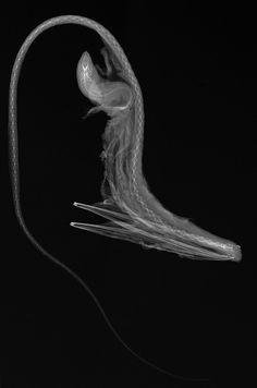 Eurypharynx pelecanoides - credit Sandra J. Raredon, Division of Fishes, NMNH