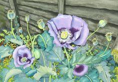 Botanical Flower Watercolor Purple Poppies by michelewebber, £39.00