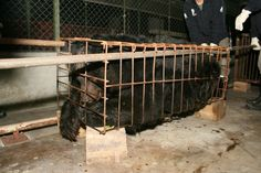 Bears on bear bile farms are kept in tiny cages their entire lives, unable to move, stand up or turn around, starved and denied water, and tortured for their bile. This bear is being rescued by Animals Asia, but sadly, did not make it. Visit www.AnimalsAsia.org to help end horrific bear bile farming.