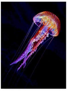 Trademark Global Henry Jager 'Jellyen' Canvas Art - 35 x 2 x 47 Beautiful Sea Creatures, Deep Sea Creatures, Animals Beautiful, Underwater Creatures, Underwater Life, Colorful Animals, Colorful Fish, Colorful Jellyfish, Tropical Fish