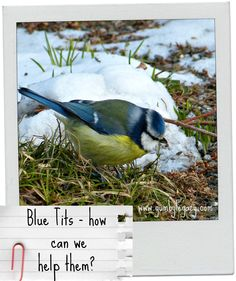 Blue tits, along with many of nature's critters, need our help to stay warm and safe in the winter. Here are some practical tips for you to get involved.