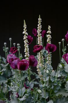 opium poppies with verbascum