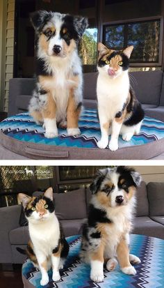 animaux : chien et chat tricolores Cute Funny Animals, Cute Baby Animals, Animals And Pets, Cute Cats, Funniest Animals, Small Animals, Aussie Puppies, Cute Dogs And Puppies, Photo Chat