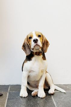 A beagle puppy - via www.murraymitchell.com