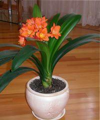 Комнатный цветок кливия, его описание и разновидности, необходимые условия выращивания, пересадка, размножение