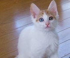 導讀:很多貓主人分不清楚愛貓是挑食還是厭食,挑食的貓咪雖然不吃飯,但是精神很好,厭食的貓咪除了不吃飯還會出現精神萎靡、嘔吐的症狀。如何知道貓咪為什麼挑食,挑食的貓咪怎麼糾正?相關知識下面一起來了解。
