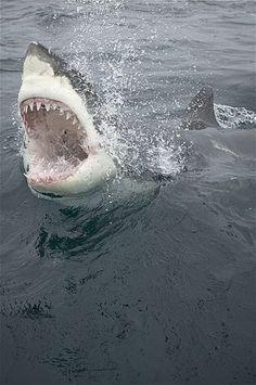 Image: Great white shark emerging from ocean. (© Stephen Frink/Corbis)