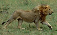 running lion | Displaying (20) Gallery Images For Male Lion Running Fast...