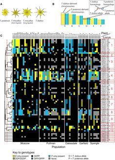 Genome evolution in allotetraploid Tragopogon miscellus