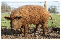 Mangalitza pig (this race has curly hair)