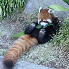 Red pandas are goofs Cute Creatures, Beautiful Creatures, Animals Beautiful, Cute Funny Animals, Cute Baby Animals, Cute Dogs, Nature Animals, Animals And Pets, Wild Animals