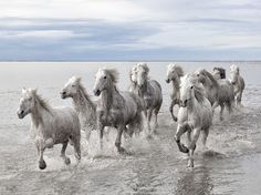 Camargue Wild Horses, Camargue Nature Park, France.  Photograph by Marco Carmassi. http://en.wikipedia.org/wiki/Camargue_horse