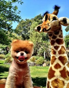 When Boo was really good friends with a stuffed giraffe. | The 40 Cutest Pictures Of Boo And Buddy